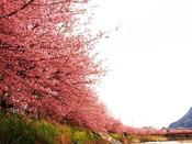 伊豆の春の風物詩と言えば、やっぱり河津桜!