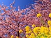 南伊豆町の「みなみ桜と菜の花まつり」もオススメ!!
