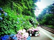 箱根登山電車から見るあじさい