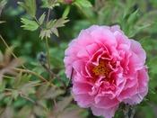 日本庭園に咲く花
