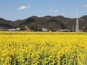 鴨川の菜の花畑