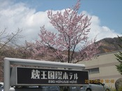 桜。かわいらしい姿と香りで春を教えてくれます。
