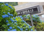ホテルの周りには色鮮やかなあじさいがたくさん咲きます
