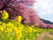 みなみの桜と菜の花まつり(イメージ)