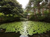 【初夏の日本庭園】夏の松泉湖には綺麗なスイレンが咲き、爽やかな景色をお楽しみ頂けます。