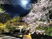 【春の庭園】夜桜ライトアップ