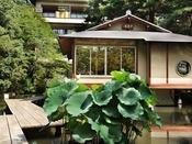 【夏の庭園・茶室と池のハス】スイレンの次に松泉湖と呼ぶ池には、ハスが大輪の花を咲かせます。