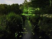 〈旅館周辺で輝く蛍の群れ〉毎年6月~7月頃に旅館敷地横の小川で蛍が飛ぶ光景をお愉しみ頂けます。幻想的な雰囲気を、是非ご覧下さい。