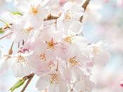 **春と言えばお花見!(イメージ)