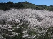 田辺市内~当館の道中には花見スポットがたくさん