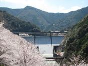 島ノ瀬ダムの桜。桜×ダム×鯉のぼり ここでしか見れないワンダーな光景が広がります。