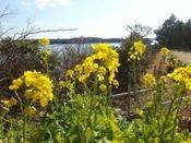 庭園に咲く早咲き菜の花(2月頃)