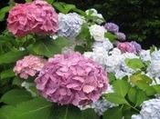 庭園に咲くあじさい(6月頃)