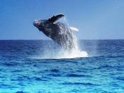 沖縄の冬はザトウクジラの子育ての季節