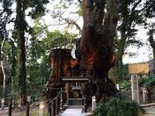 来宮神社 大楠木 一週回ると一年寿命が延びると言われています。