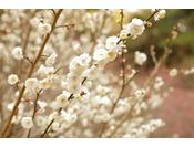 梅の花 毎年1月下旬~3月上旬まで熱海梅園にて梅祭りが開催されます