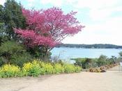 庭園の菜の花と寒緋桜(2月頃)