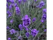 初夏 ラベンダーと富士山
