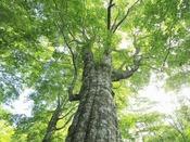 周辺のぶな林(新緑)