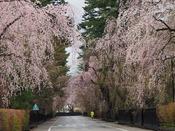 桜の季節の角館武家屋敷通り