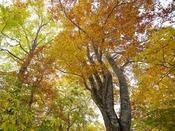 周辺のぶな林(紅葉)