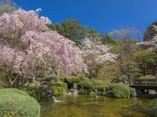 春の日本庭園/桜の開花は例年4月20日前後