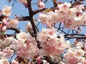 大寒桜(熱海親水公園)2月下旬~3月上旬