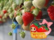 【湯沢いちご村】新潟県が誇る甘くてジューシーな【越後姫】を栽培しております。