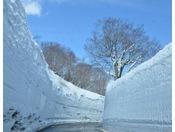 【八甲田 雪の回廊】4月1日より開通となる「八甲田雪の回廊」。高さ約9mもの大きな雪の壁がそそり立ちます
