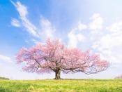 標高800m付近に雄大にそびえたつ『亀ケ森の一本桜』へは約31km。2015年4月29日撮影