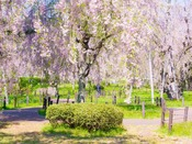 約30本の八重紅枝垂桜、咲く姿は豪華絢爛。盛岡『米内浄水場』へは約105km。2016年5月8日撮影