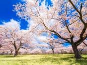 ホテル前に広がる桜の木々、2016年は4月20日の満開でした。日向ぼっこをしてる人がいたりお弁当を準備してピクニックされてる人も写っているのが見えるかな~?