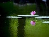 ホテル前の池、鎮魂・復興の花として株分けして頂きました『中尊寺ハス』が2015年ようやく咲きました。