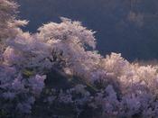 福島の桃源郷『花見山公園』へは約368km。花木生産農家の農地を一般開放。2014年4月13日撮影