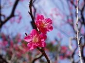 1年を通じ季節の花が街を彩る熱海。年明けには早咲きの「あたみ桜」と「梅の花」の競演が見頃を迎えます。