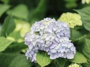 【舞洲ブルー】舞洲の美しい青空、深い海の色を表現した新種のあじさいもお目見えします