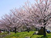 【舞洲緑地の桜並木】当ホテルのすぐ隣、舞洲緑地は大阪市内の隠れたお花見スポット。