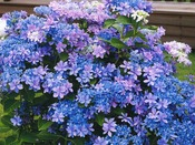 【あじさい展】オリジナル品種、舞洲ブルーの花。