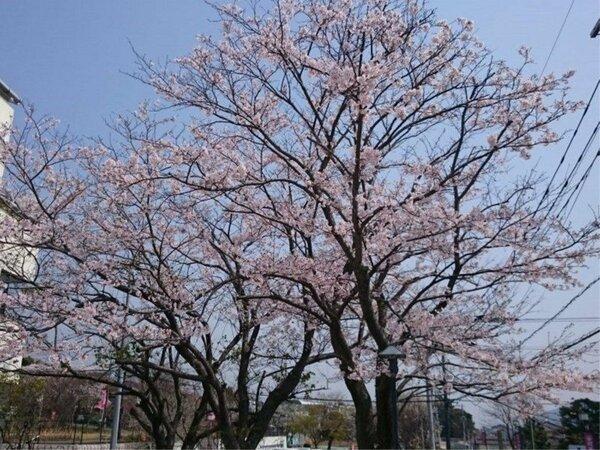 IBUKU本館では桜の木がございます。