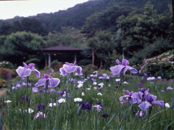 庭内 六百坪の花菖蒲園