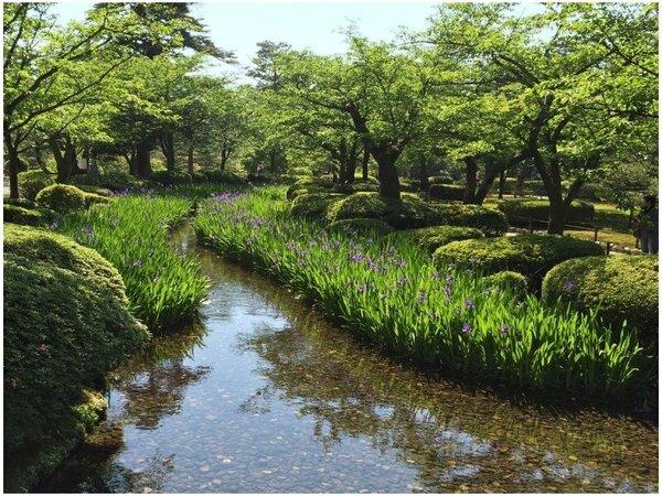 6月になると、兼六園ではカキツバタが咲き誇ります。鮮やかな風景をお楽しみいただけます。(イメージ)