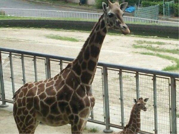 東山動物園のきりんの赤ちゃん